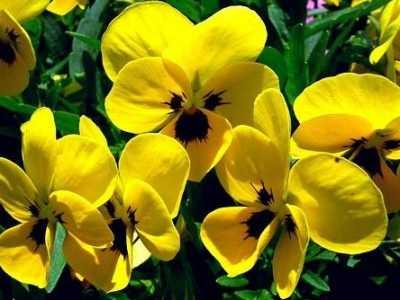 形容黄色的花 关于黄色紫罗兰的花语与寓意